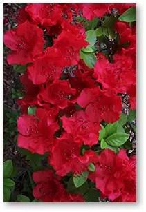 red-azelia