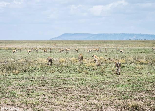 Ghepardi a caccia di gazzelle