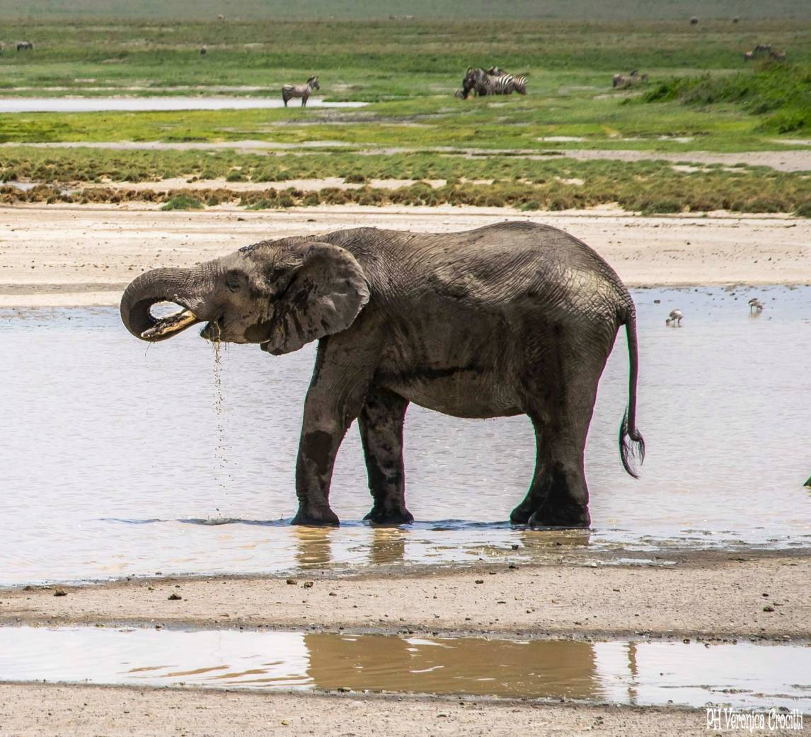 Elefante che beve