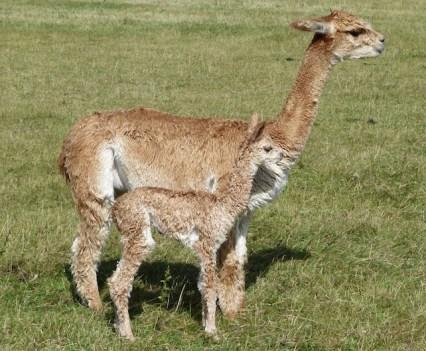 Chloe & Topaz - Mum and Baby Alpaca