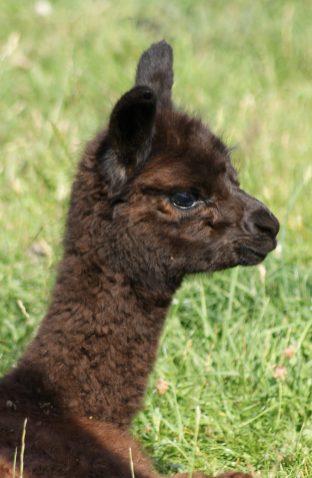 Toffy - Baby Alpaca