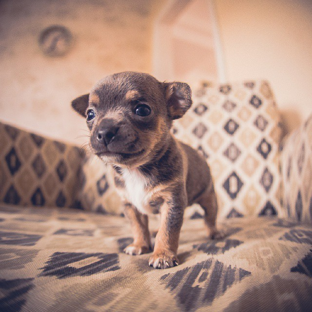 This puppy is very cute! puppy chihuahua cutepuppies cute fisheyehellip