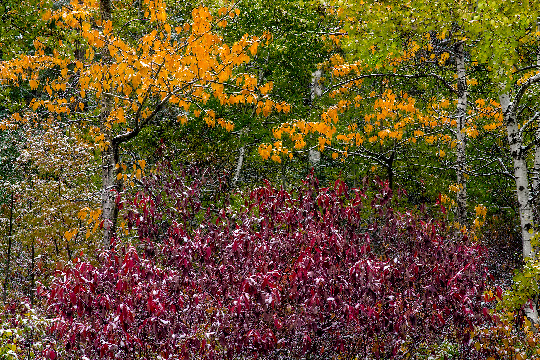 An abstract photograph of all of the fall colours. Red bush in front, yellow trees are mixed in with green ones in the background. Everything is covered in snow
