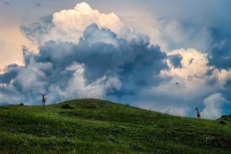 This nature photograph is of two mule deer on a Saskatchewan hillside with a thunderhead building behind from a Saskatchewan storm