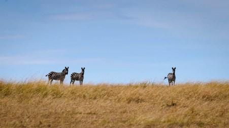 Zebras on the Ridge