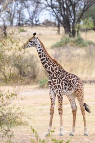 Young Maasai Giraffe