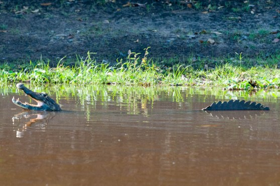 Caiman cooling off