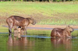 Capybara pups with Mom and Dad