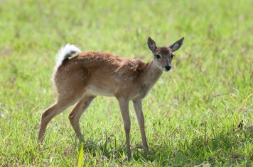 Brocket Deer Fawn