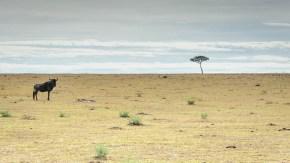 Lone Wildebeest