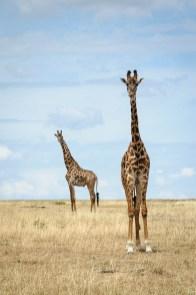 Pair of Maasai Giraffe