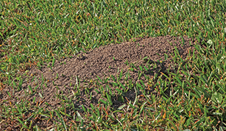 Imported Fire Ant Mounds May Be As Large 18 Inches High And 30 Wide