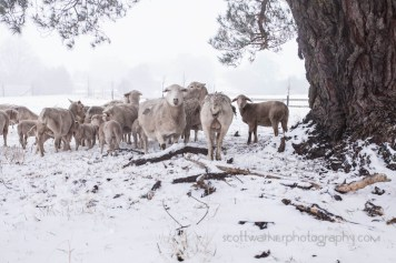 a flock of sheep sheltering in the lee of a tree