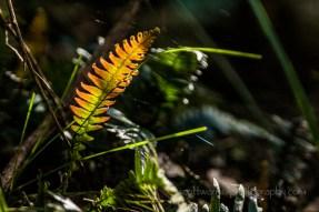 A Rasp fern (Doodia Aspera) highlighted in the suns rays