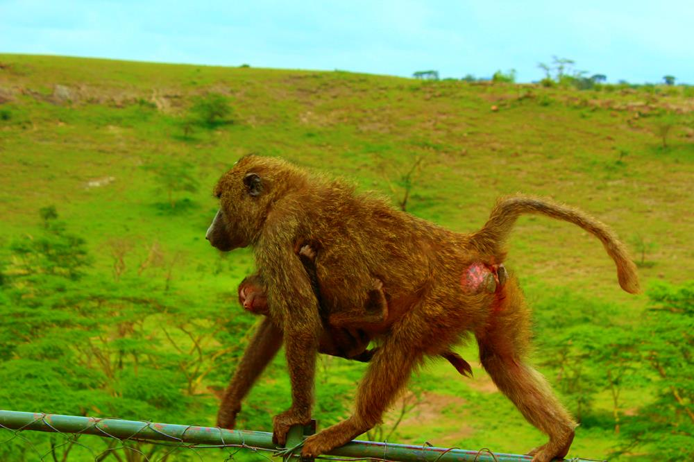 Mother_baboon
