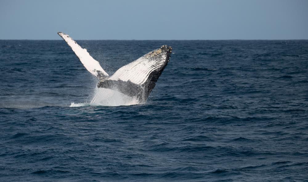 Humpback_Whales_Watamu