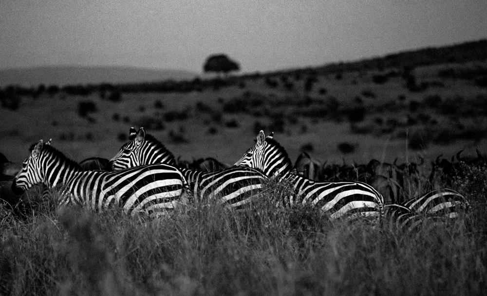 Twin_Migration_Maasai_Mara