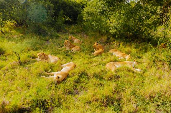 Lion_tracking_Ol Pejeta_Conservancy