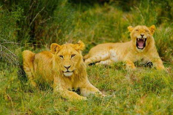 Lion_tracking_Ol_Pejeta_Conservancy