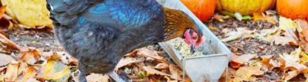 chicken-eating