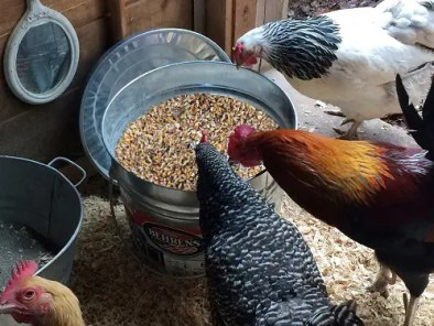 chickens-eating-scratch-and-peck