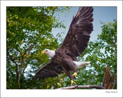 Eagle spreads his wings to take flight