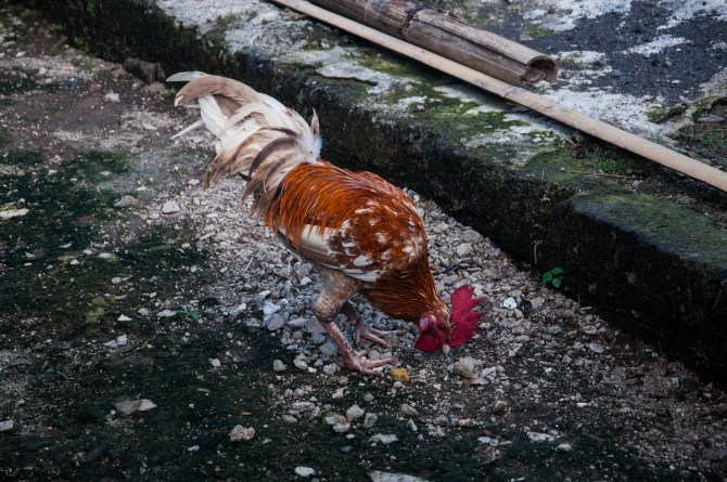 In India, you have free-roaming cows. In Ubud, you have free-roaming chickens.