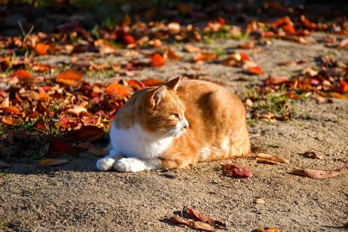 Onomichi Cat and Autumn Leaves