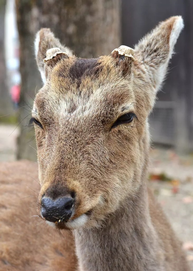 Irritated Miyajima Deer.