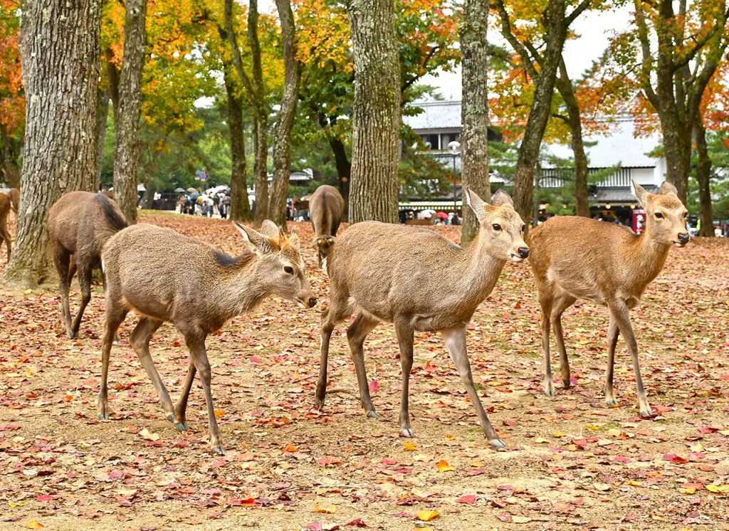 Trio of deer at Nara Deer Park, Japan