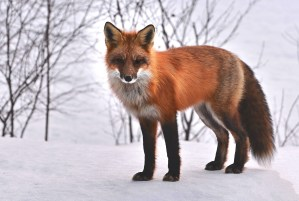 creative writing, short story, fox, snow, winter, scene
