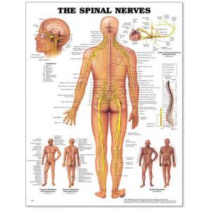 Spinal Nerves Poster 20