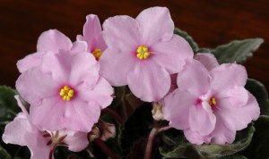 Picture of African Violet Flowers