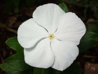 Vinca white