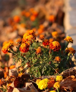 Photo of Marigolds in the Autumn