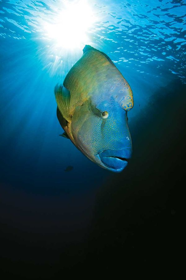 https://i1.wp.com/www.scubadiving.com/sites/scubadiving.com/files/styles/medium_1x_/public/scu-humphead-wrasse-sea-watch.jpg