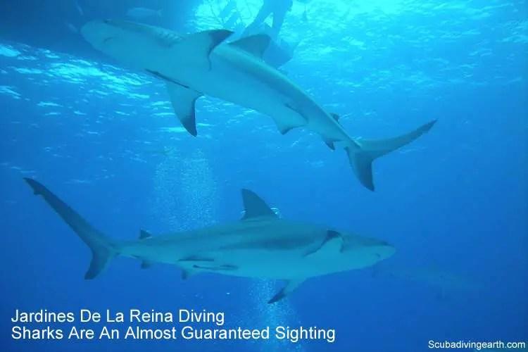 Jardines De La Reina Diving Sharks Are An Almost Guaranteed Sighting