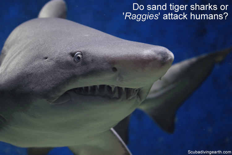 Do sand tiger sharks or 'Raggies' attack humans?