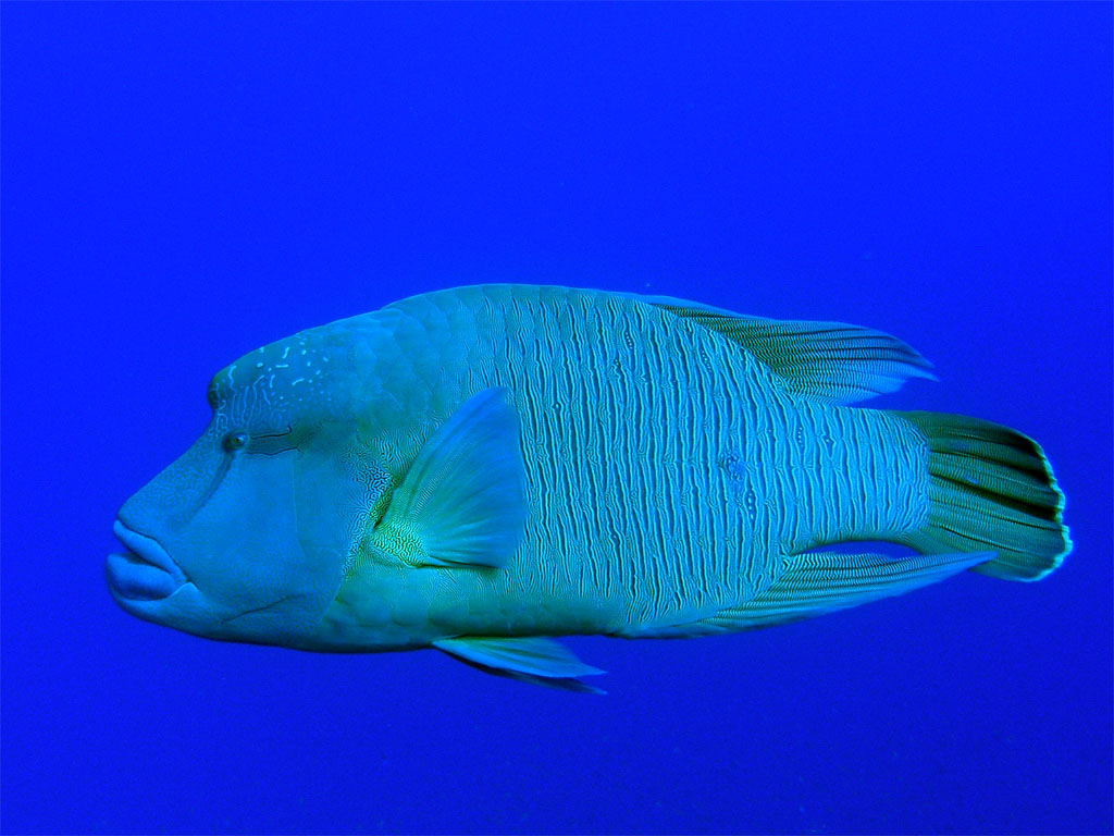 https://i1.wp.com/www.scubatravel.co.uk/photos/redsea/Humphead_wrasse_26_03a.jpg