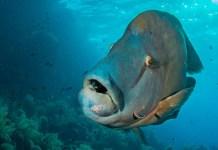 fishinfocus, Mario Vitalini, Napoleon Wrasse,