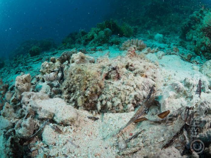 Scuba travel, fishinfocus, stonefish, underwater photography