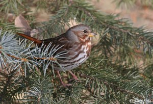 Fox Sparrow photo - Big Sioux Rec Area