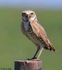 Burrowing Owl - Athene cuniculari