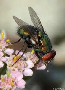 Blowfly and flower