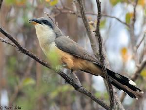 Mangrove Cuckoo - Coccyzus minor