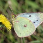 Clouded Sulphur - Butterfly - Photo