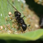 Carpenter Ant, tending aphids