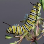 Monarch Butterfly Caterpillar - Photo
