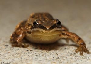 Chorus Frog - Pseudacris triseriata
