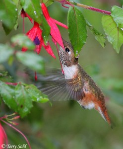 Photo of Rufous Hummingbird in FLight